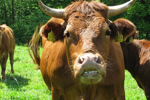 Limousin-Rinderzucht