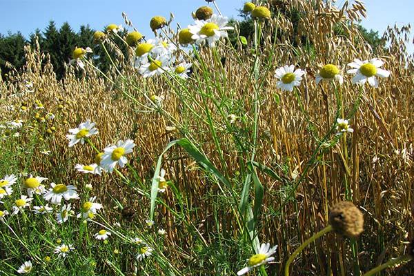 Blühwiese auf unserem Bauernhof