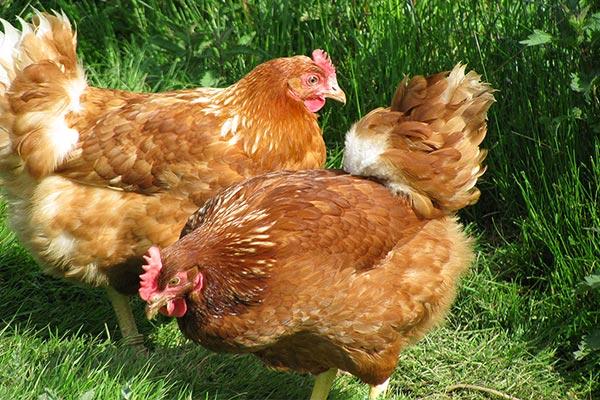 Freiland Hühnerhaltung