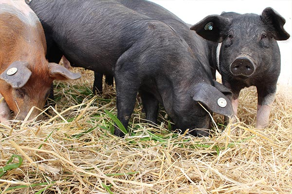 Artgerechte Schweinehaltung
